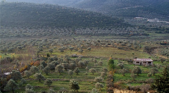 Olive_groves_in_Syria.jpg