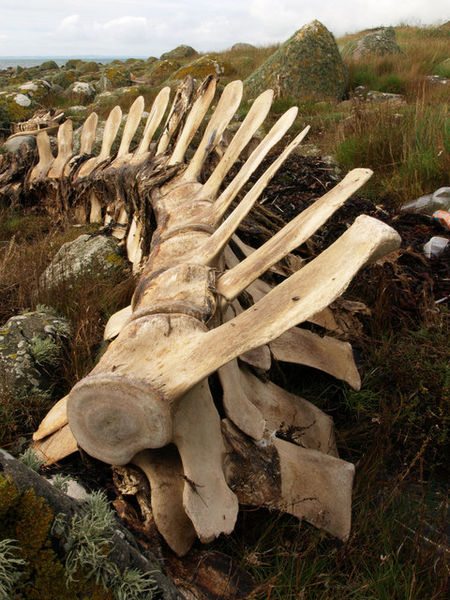 450px-Dead_whale,_Chippermore_-_geograph.org.uk_-_961273.jpg